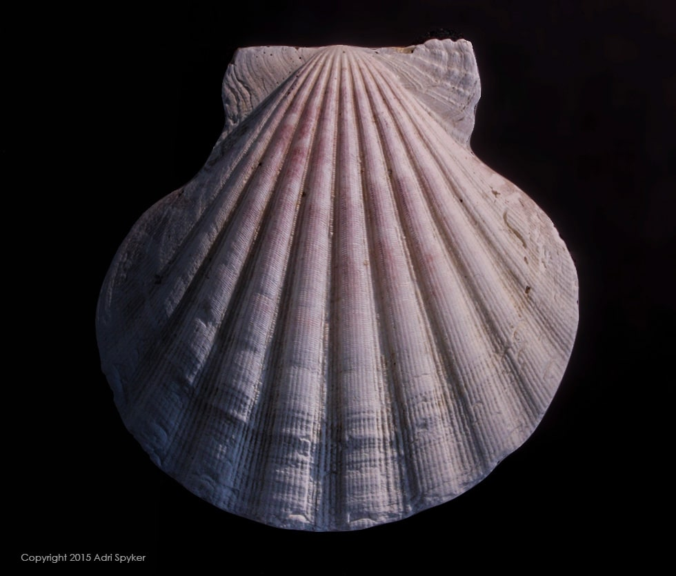 Photograph of a white shell on a black background with more shadow on the left