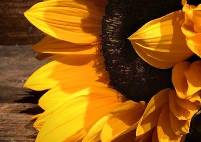 sunflower-web-sml